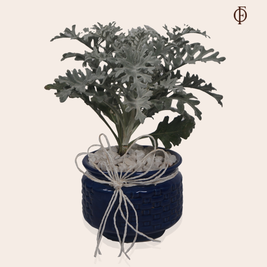Silver Ragwort with Ceramic Pot
