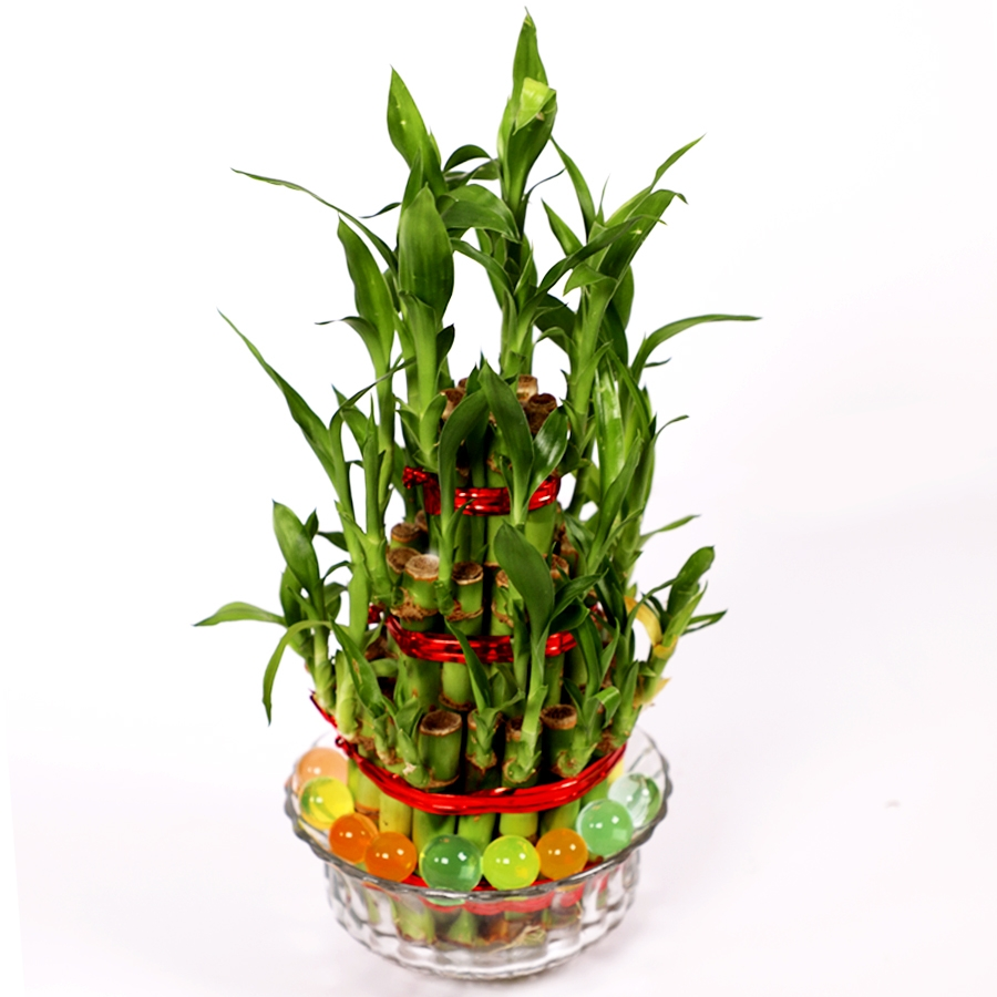 Vase of Lucky bamboos 3 layer